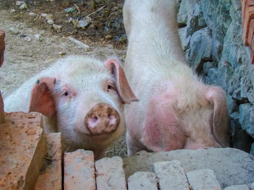 猪肉终于开始降价了,过年有望吃上便宜猪